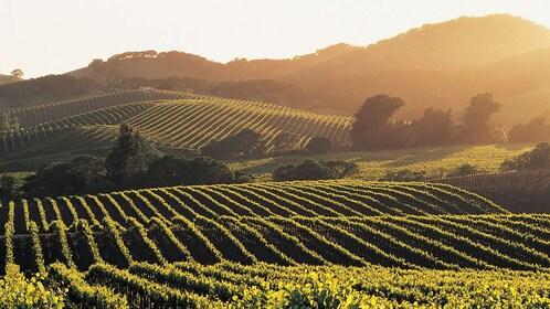 Rolling hills of a vineyard in Carneros