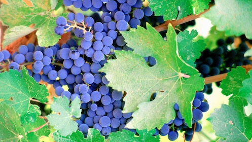 Grapes on a vine in Carneros