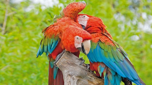 Parrots grooming each other in Costa Brava
