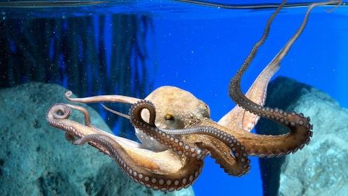 Octopus at the L'Aquarium Barcelona