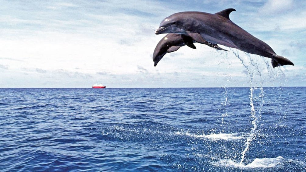 Dolphins jumping out from the water at Playa de Papagayo