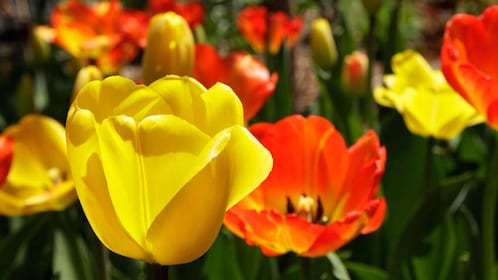 Tulips blooming at Central Park in New York