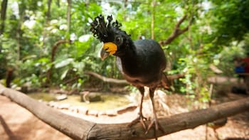 Cargar ítem 2 de 9. crowned black bird at the bird park in Maui