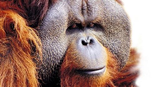 an orangutan at Palmitos Park in Gran Canaria