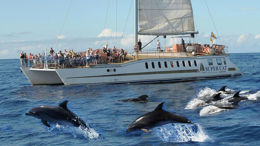 Show item 1 of 5. Dolphins swimming beside a Supercat Boat in Gran Canaria