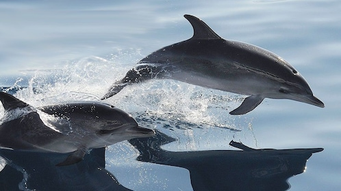 Two dolphins in Gran Canaria