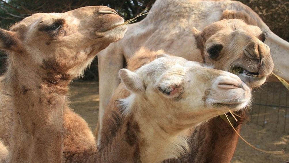 Foto 3 von 5 laden A flock of camels in Gran Canaria