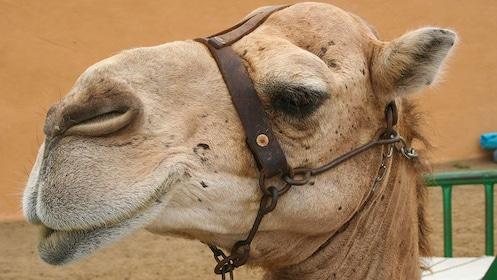 A camel in Gran Canaria