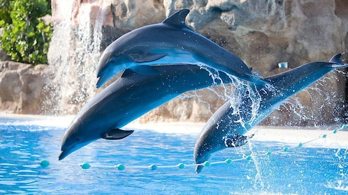 Loro Park dolphins leaping out of the water in Gran Canaria