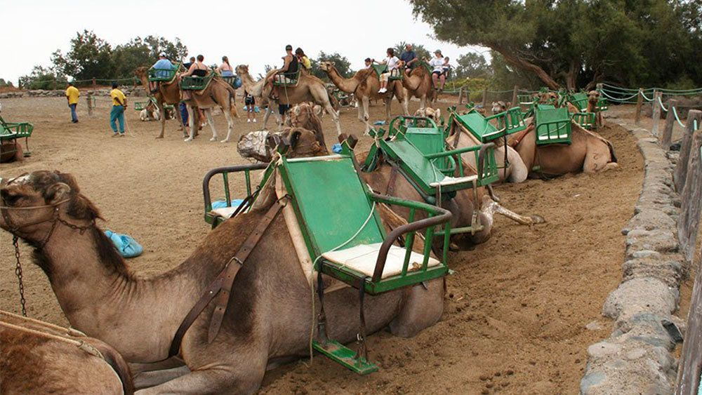 Row of camels kneeling on the ground in Gran Canaria