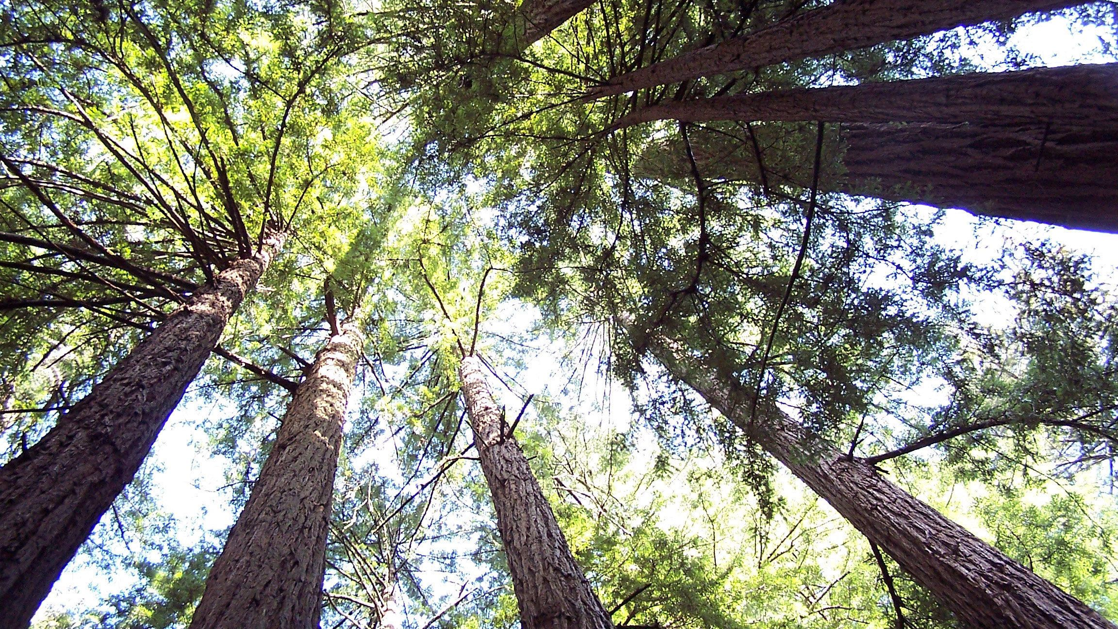 visiting the wooded forest at Muir Woods in San Francisco