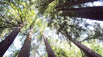 Show item 2 of 5. visiting the wooded forest at Muir Woods in San Francisco