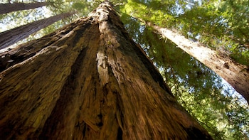 Show item 3 of 5. the rough texture of an old tree at Muir Woods in San Francisco