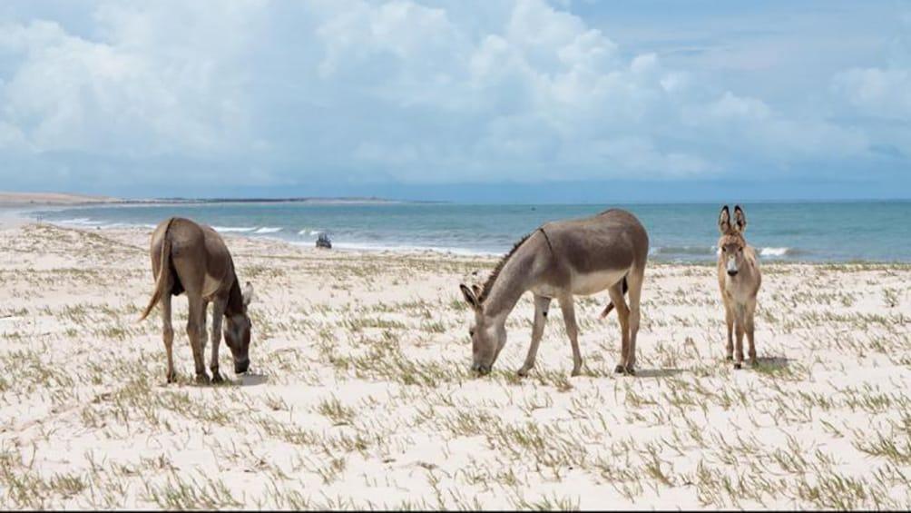 Show item 3 of 10. donkeys at Canoa Quebrada beach