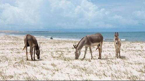 donkeys at Canoa Quebrada beach