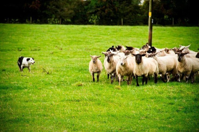 See our sheepdogs in action