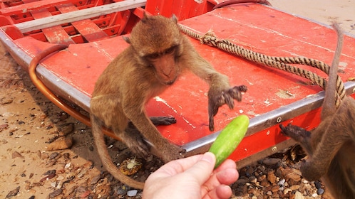 Monkey taking a treat from a tourist at Khao Sam Roi Yot National Park in Thailand