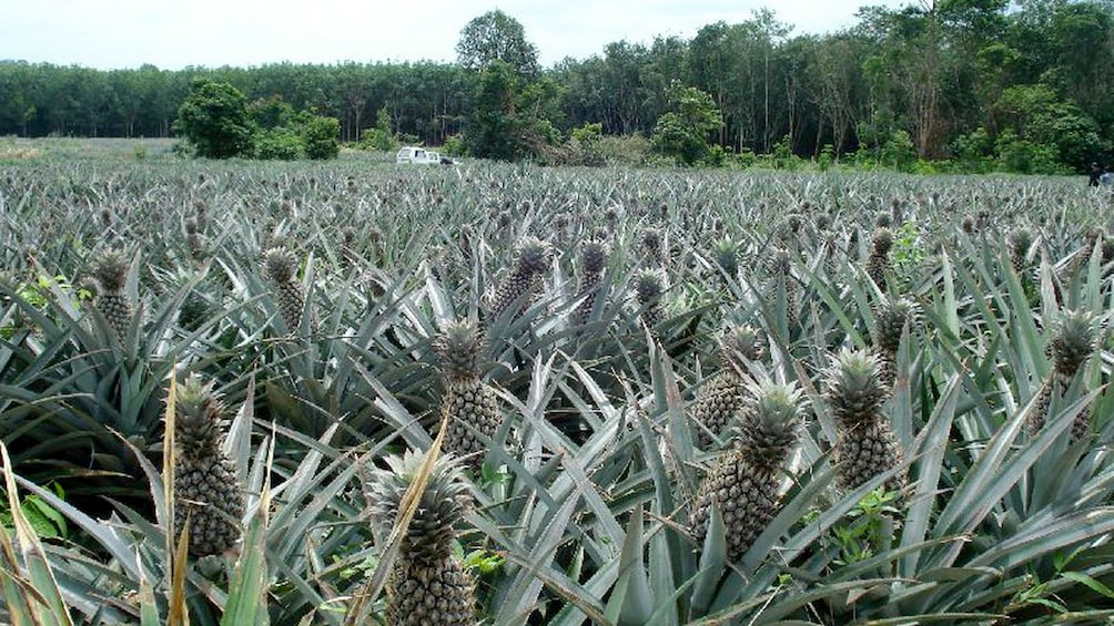 แสดงภาพที่ 4 จาก 4 Pineapple field at a fruit plantation in Thailand