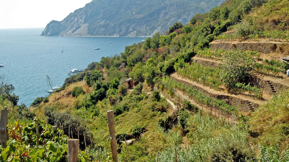 Show item 5 of 6. A terraced hillside of grape trees overlooking the Coastline of Genoa