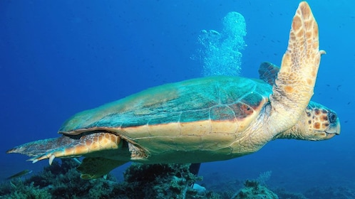 A green sea turtle in Antalya