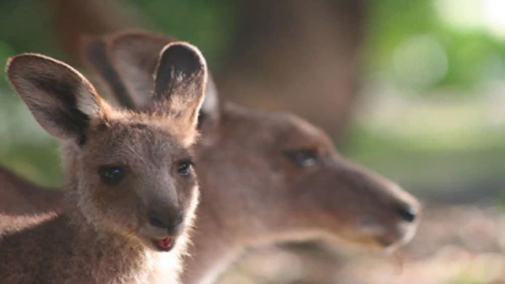 Show item 3 of 7. wild kangaroos in Blue Mountains, Sydney