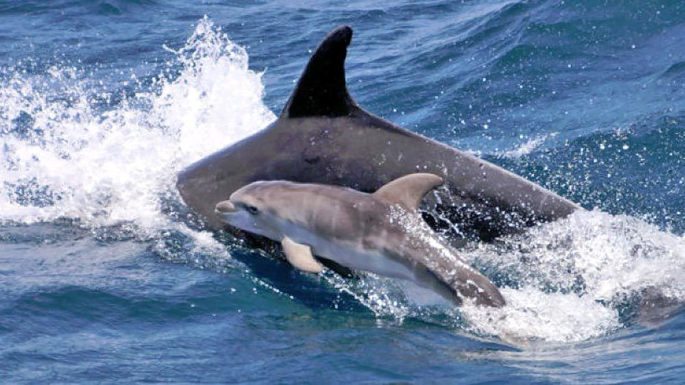 Adult and baby dolphin swimming off the coast of Gibraltar