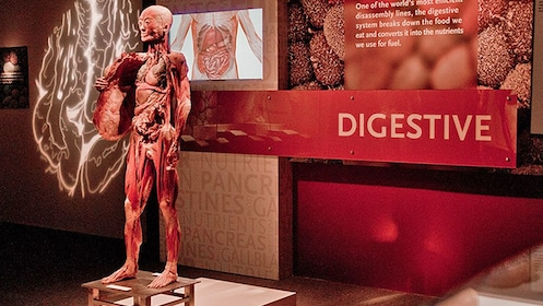 Learning about the human digestive system at the Body Exhibit in Atlanta