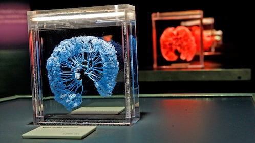 Human lung components displayed in cases at the Body Exhibit in Atlanta