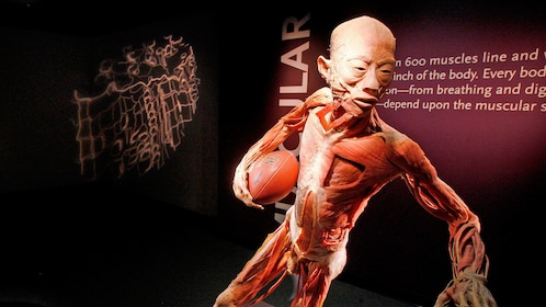 Diagram of human playing football at the Body Exhibit in Atlanta