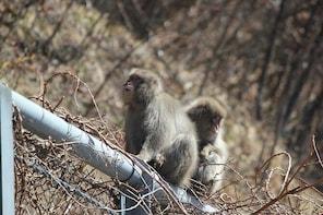Explore the world's northernmost monkey