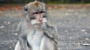 Show item 2 of 10. Macaque monkey in Kedaton Monkey Forest in Bali