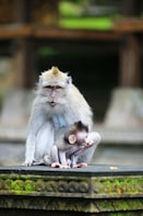 Show item 10 of 10. Pura Taman Ayun Temple, Monkey Forest & Tanah Lot Excursion