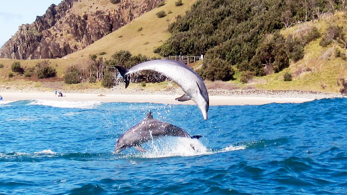 Dolphins leaping out of the water in Byron Bay