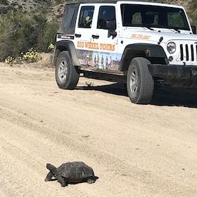 Desert Tortois.jpg