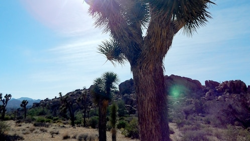 Joshua trees and rocky hills at Joshua Tree National Park in Palm Springs
