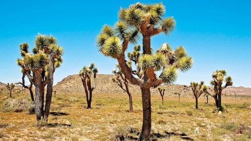 Field of Joshua Trees in Palm Springs
