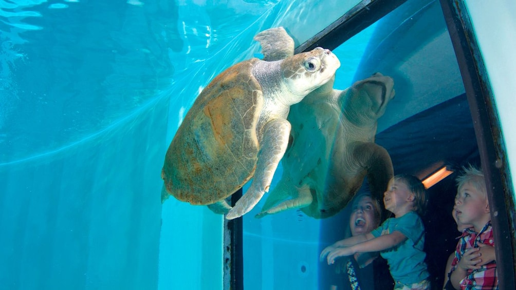 Apri foto 5 di 10. Turtle right by viewing window in florida