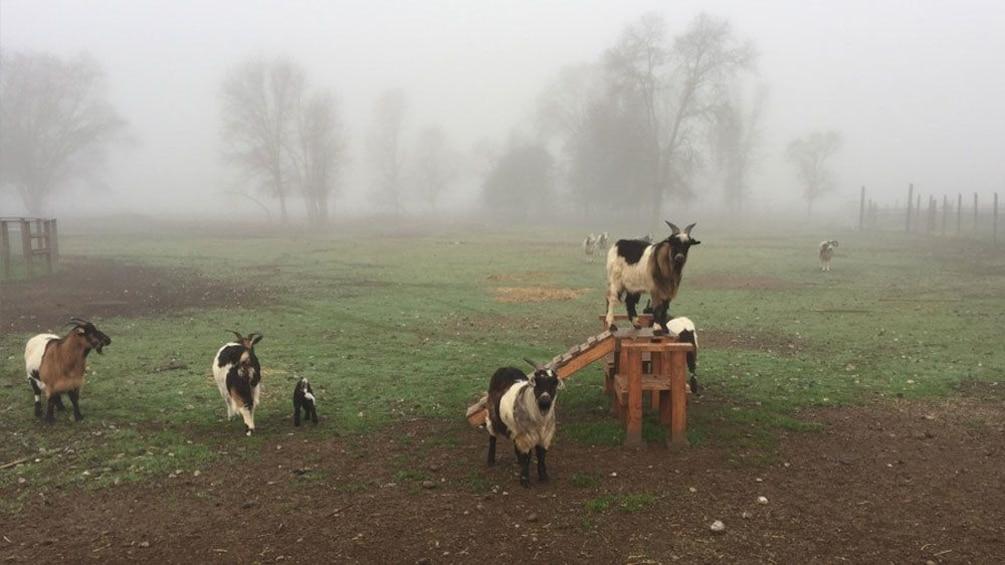 Charger l'élément 4 sur 7. Goats in enclosure in Napa Valley