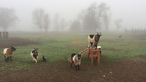 Goats in enclosure in Napa Valley