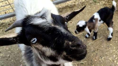 Close up of goat in Napa Valley