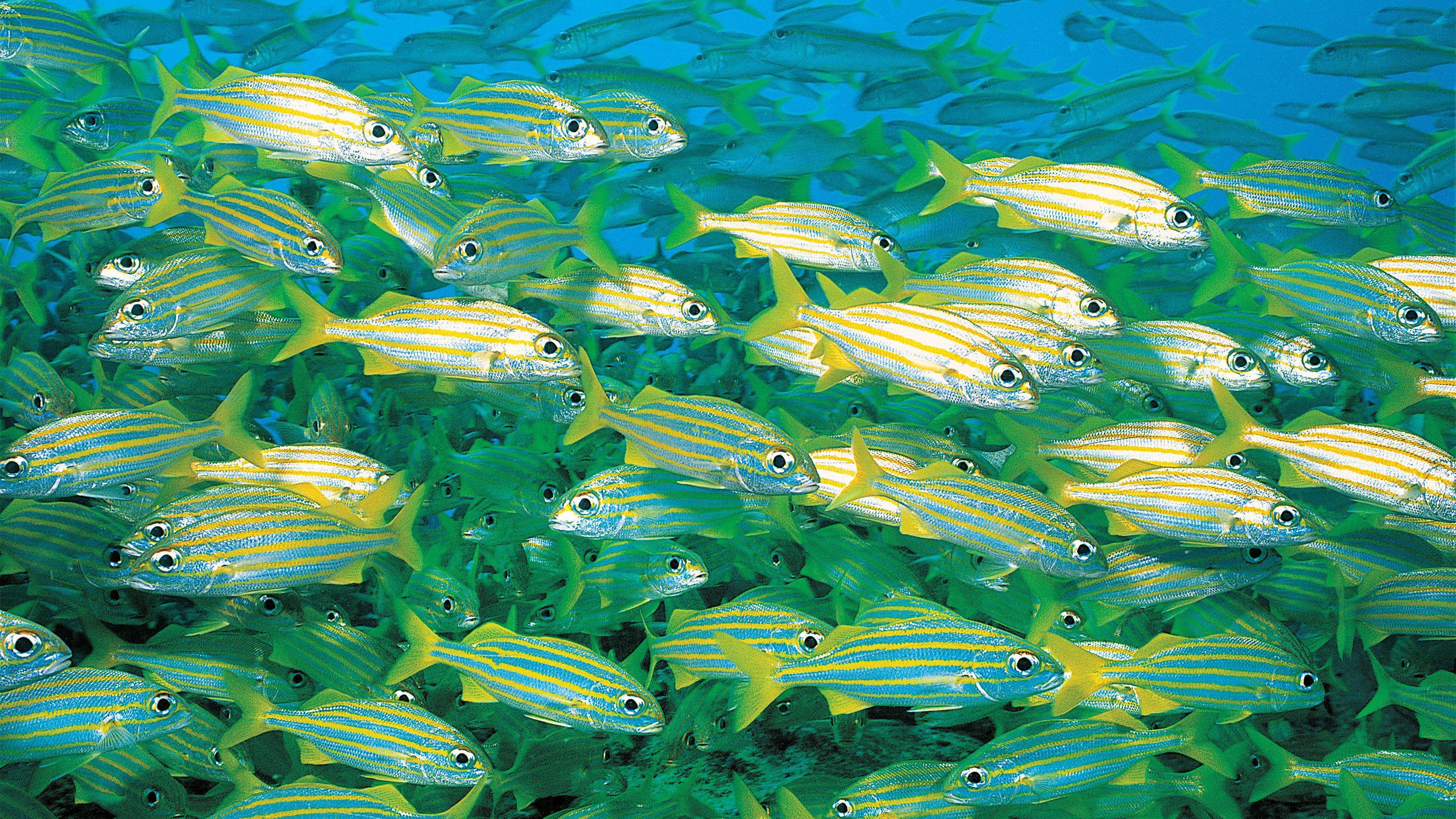 schools of white striped fish