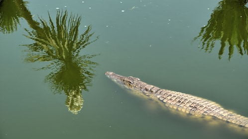 Crocodile in the water in Agadir
