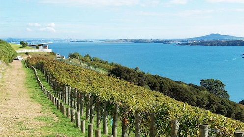 vineyards along the coastline in New Zealand