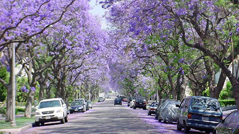 Show item 2 of 5. Blooming trees with purple flowers line a street in Mclaren Vale