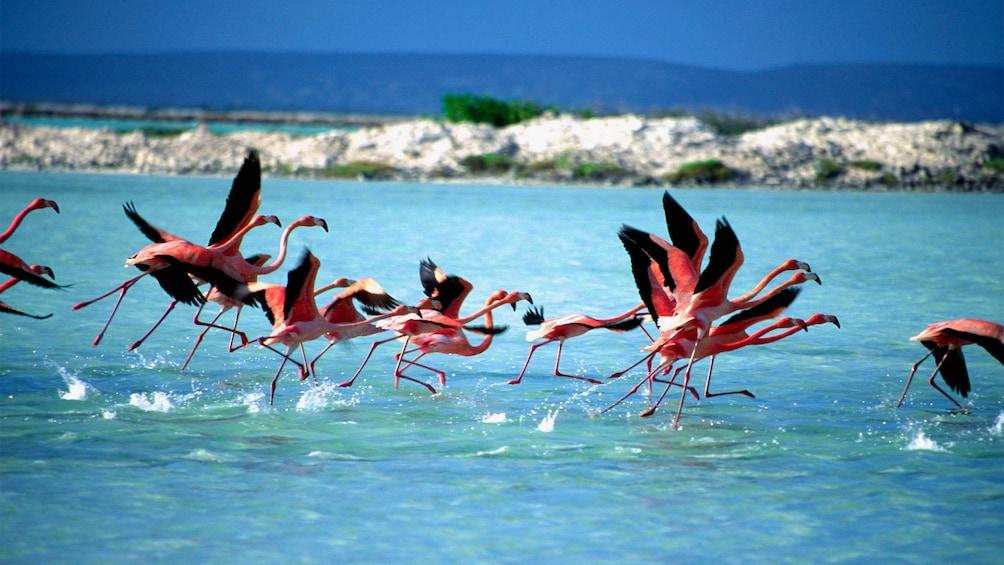 Flamingos taking flight at Bonaire National Park