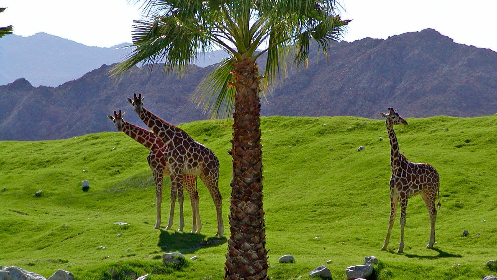 Group of giraffes at Living Desert Zoo and Gardens in Palm Springs