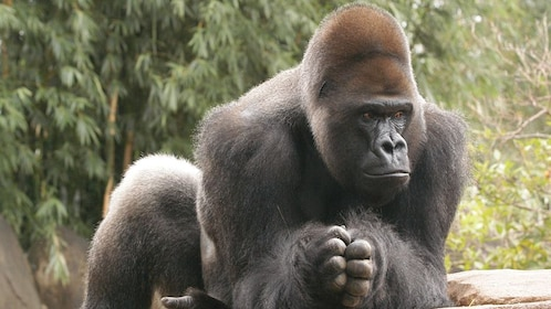 a grooming gorilla at the zoo in New Orleans