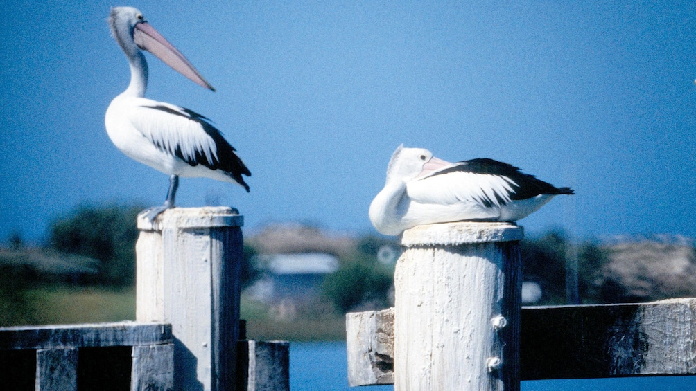 Show item 4 of 6. two pelicans resting on wooden posts in Australia