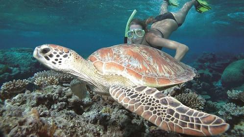Woman encountering a sea turtle off Port Douglas