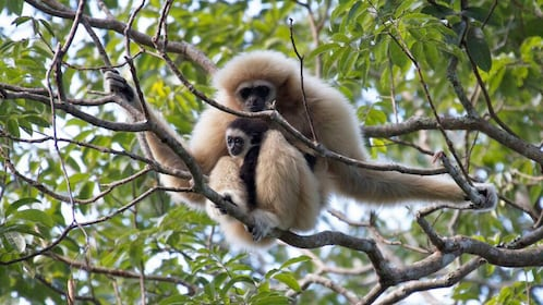 Gibbon in a tree in Thailand